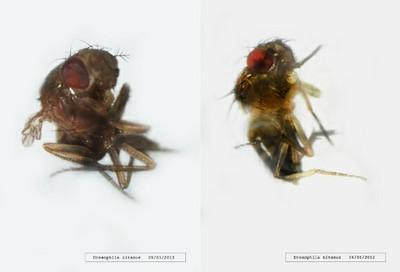 Drosophila titanus, 2011